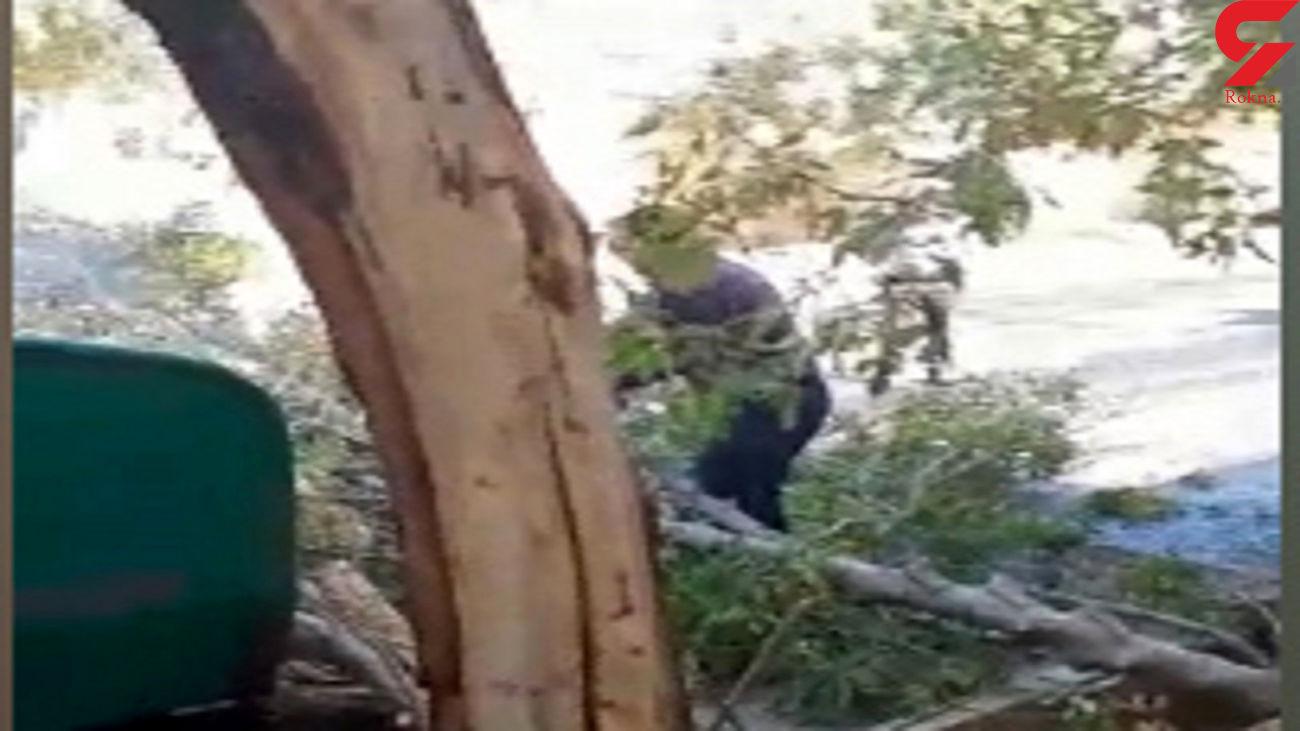 صحنه تأسفبار قطع درختان در آشتیان + فیلم