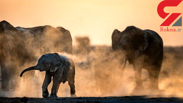 عکسی زیبا از دوش گرفتن خانوادگی فیل ها