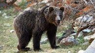 خرس زخمی در نوشهر