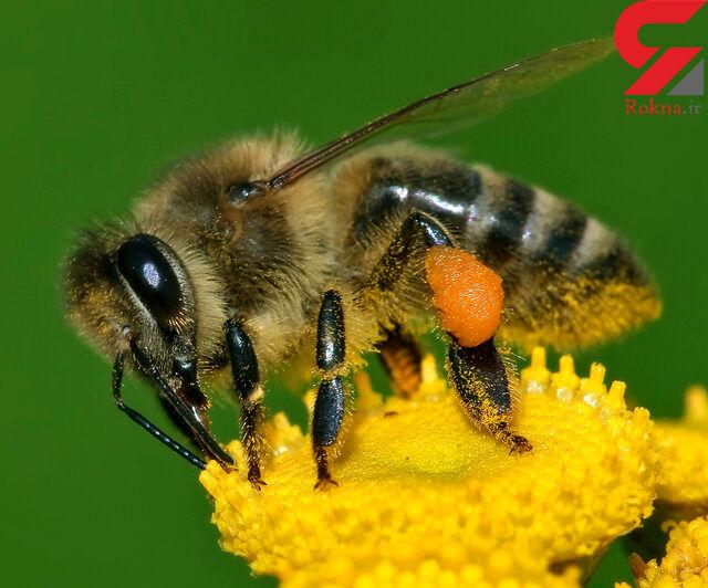 زنبور عسل به کمک بیماران آسمی می آید