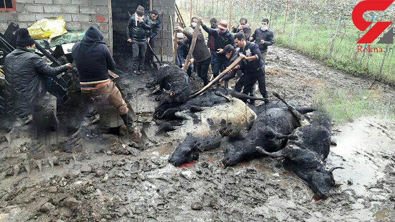 عکس دردناک اجساد جزغاله 11 گاو /درتالش رخ داد