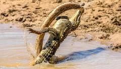 مار افعی راسل توسط کروکودیل غافلگیر شد/له شدن مار افعی زیر دندان های این حیوان قدرتمند+تصاویر
