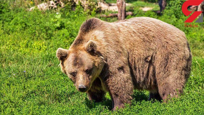 خرس مرد 67 ساله را درید / در اندیکای خوزستان رخ داد