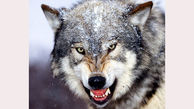 جولان گرگ های دردنده در پلدختر / کار جالب دامدار مسلح