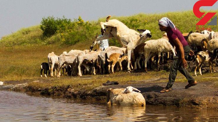 رفتار وحشیانه چوپان برای حمام کردن گوسفندانش+تصاویر