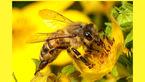 بیماری اوتیسم در زنبورها هم دیده می شود