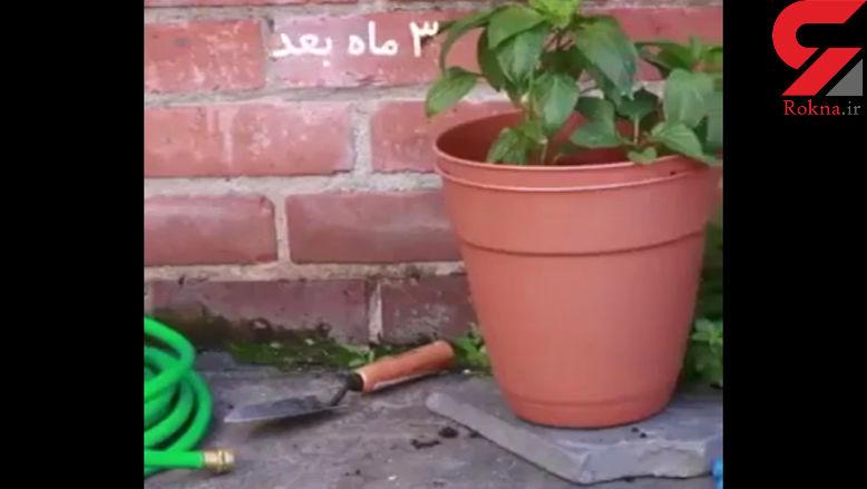 در منزل خود سیب زمینی تازه پرورش دهید +فیلم