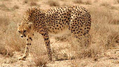 """4 شکارچی یوزپلنگ """"ایران"""" فقط 5 میلیون تومان جریمه شدند !"""