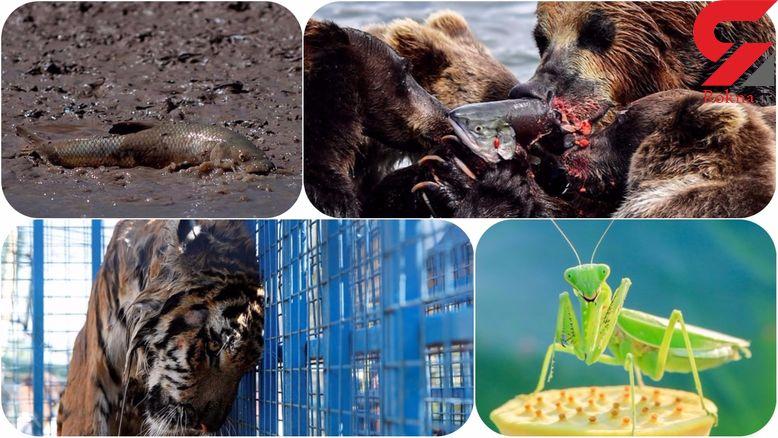 تصاویر دیدنی و هیجان انگیز دنیای حیات وحش در هفته ای که گذشت