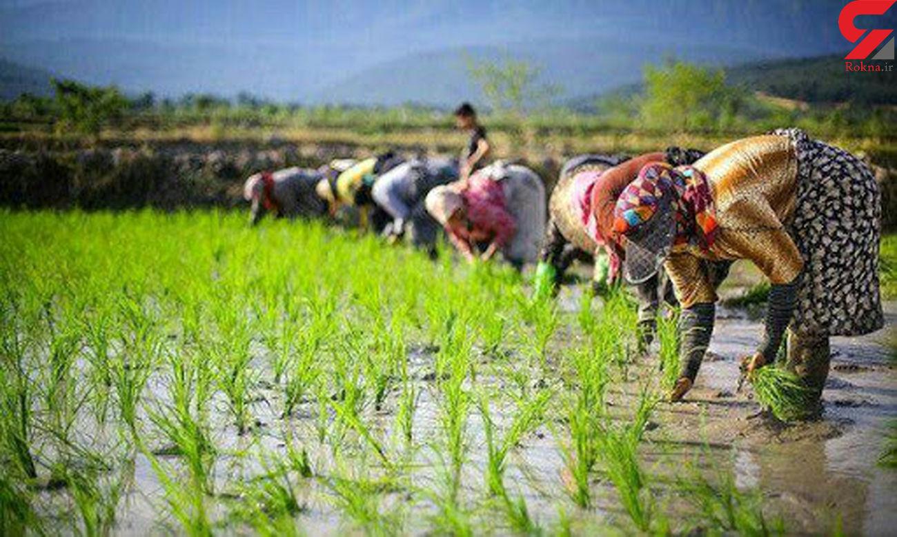 قیمت جهانی برنج کاهش یافت