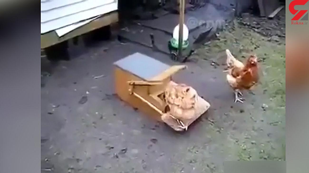 خلاقیت یک دامدار برای محافظت از غذای مرغها + فیلم