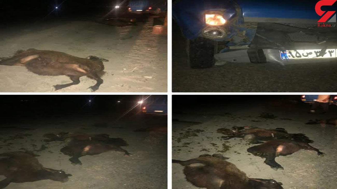 برخورد مرگبار نیسان با گله گوسفند در مهاباد + عکس تلخ
