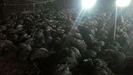 راز زنده زنده سوختن ۲۶۲ قطعه بوقلمون در پلدشت + عکس