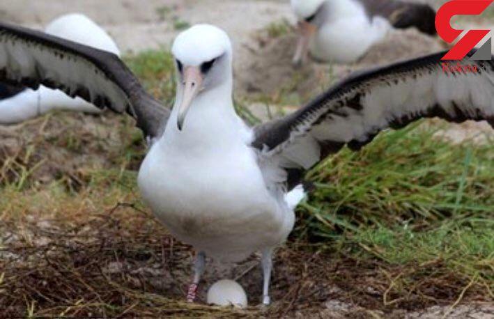 پرنده 68 ساله دوباره مادر میشود +عکس
