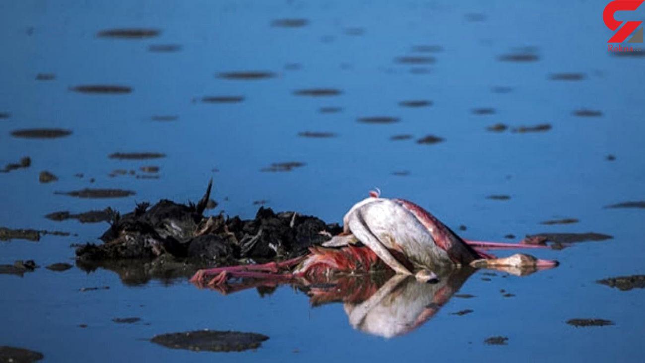 ادامه مرگ و میر پرندگان در میانکاله